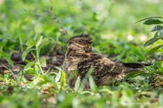 Large- tailed Nightjar