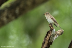 Dark- sided Flycatcher