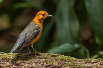 Orange- headed ground Thrush