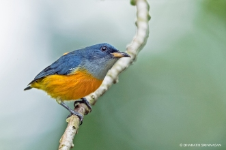 Orange- bellied Flowerpecker