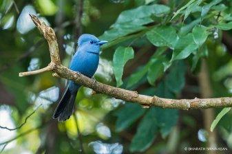 Blue Paradise Flycatcher