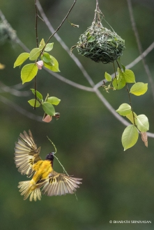 Golden- backed weaver