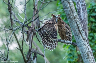 Buffy Fish Owl Pair