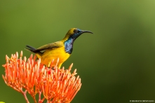 Olive- backed Sunbird