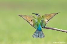 Blue- tailed Bee Eater